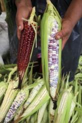 SANCRISTOBALDELASCASAS21OCTUBRE2014.-El precio del maiz  ha bajado 42% en los últimos años, por lo que la situación para los cuatro millones de productores de granos se torna cada vez más difícil. El Consejo Nacional Agropecuario (CNA) advirtió de los riesgos de perder fuentes laborales y cierre de empresas ante la caída de los  precios de los granos a nivel mundial y nacional. FOTO: ELIZABETH RUIZ /CUARTOSCURO.COM