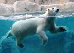 polar-bear_560x400-jpg